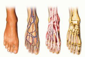 anatomia del piede, muscoli, ossa, tendini
